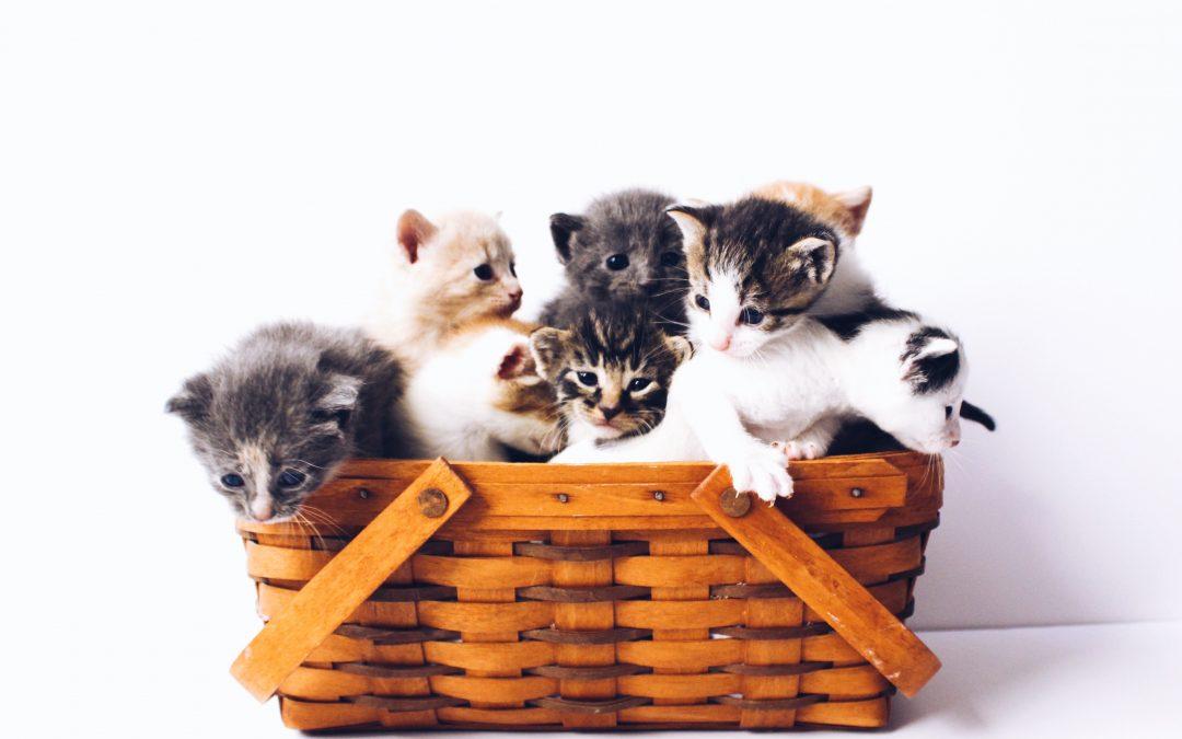 Les démarches à faire pour adopter un chat
